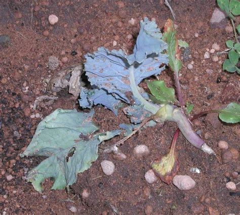 broccoli plant diseases diseases of vegetable brassicas agriculture and food