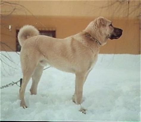 kangal dogs kangal breed information and pictures