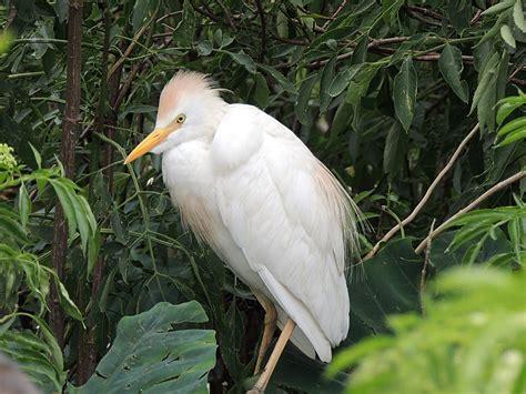 egret color egret cattle egret information for