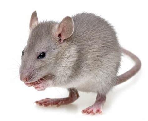 comment tuer les souris dans vos murs ou cloisons rapidement