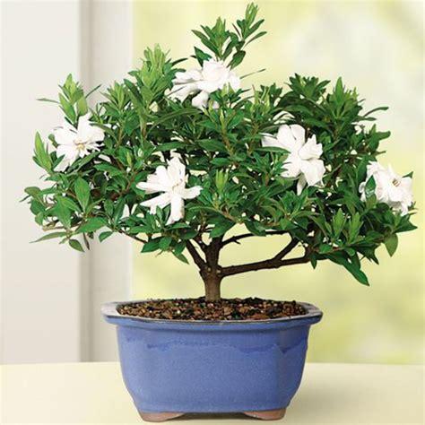 pcs gardenia cape jasmine jasminiodes white shrub