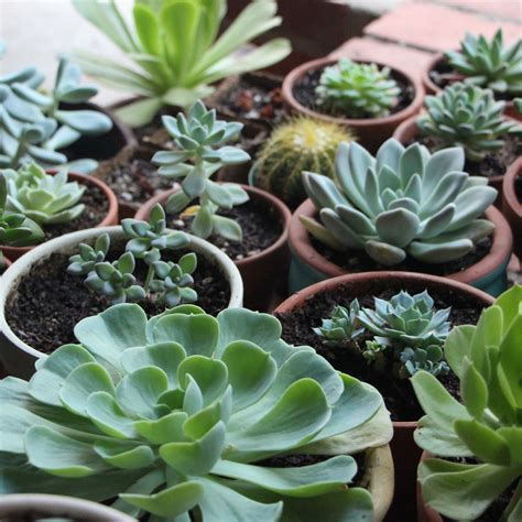 succulents plants how to grow succulents in artificial light needles leaves