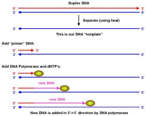 what is template dna what is a template in dna 28 images dnatemplates dna