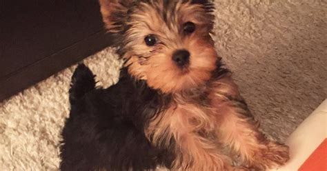yorkie puppies vancouver bc dogs bite decatur al vancouver bc canada the owners of 13 week yorkie quot ben quot are