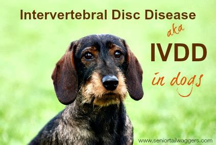 ivdd in dogs intervertebral disc disease in dogs