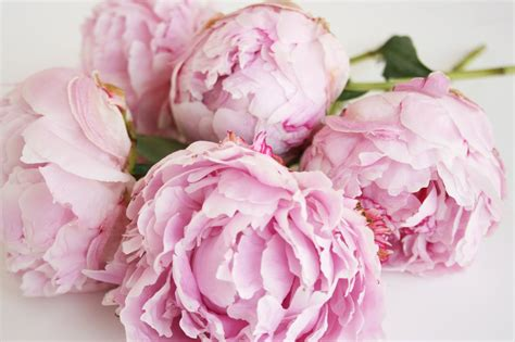 pink peonies windmill farm roses peonies and snow ball plants are