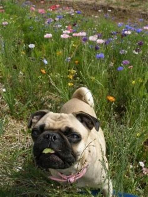 is a pug the right for me is a pug for me ranchito bar h
