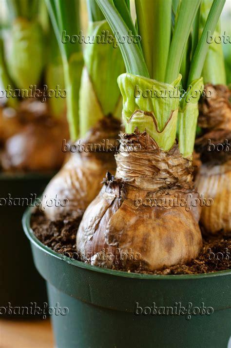 blumenzwiebeln im topf pflanzen bild blumenzwiebeln in einem topf 483181 bilder und