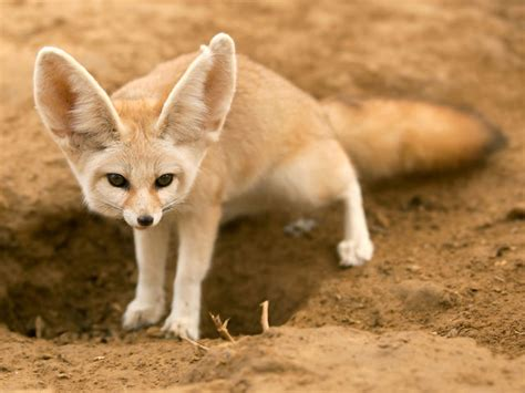 are foxes related to dogs animals related to the domestic playbuzz