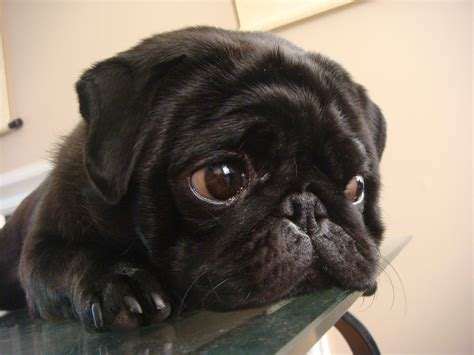 show me pictures of pugs alexi modern magazine