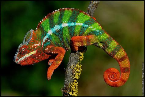 colorful chameleon colorful chameleon by paul bratescu photo 11766599 500px