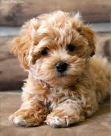retriever doodle puppies for sale nz maltipoo characteristics appearance and pictures
