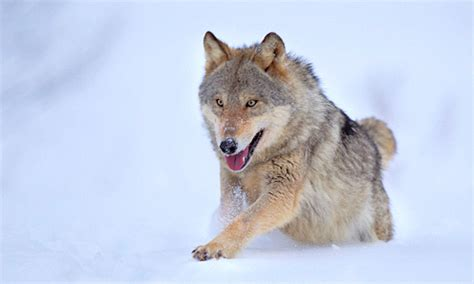 russian wolf keystone species 171 rewilding foundation