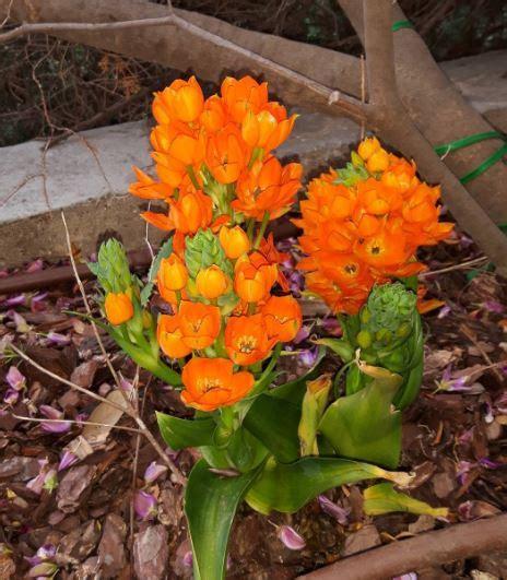 pianta fiori arancioni coltivare ornitogallo o cresta di gallo guida per