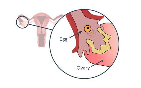 Ovulation Pictures ovulation understanding ovulation to get