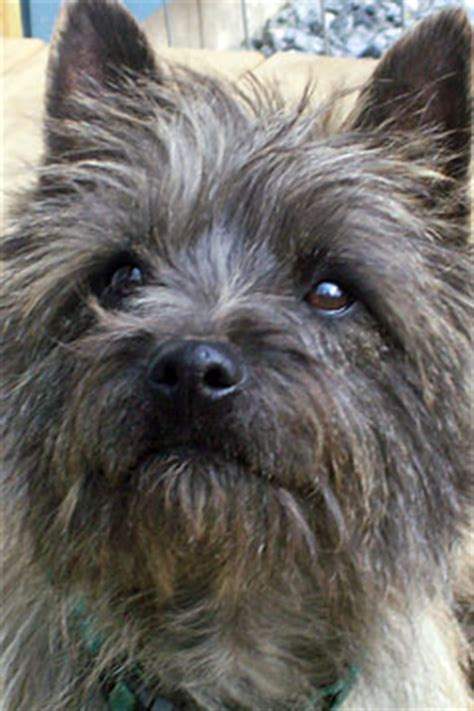 is toto a yorkie meet bingo chabner yorkie poo extraordinaire and chabdog of the month for february