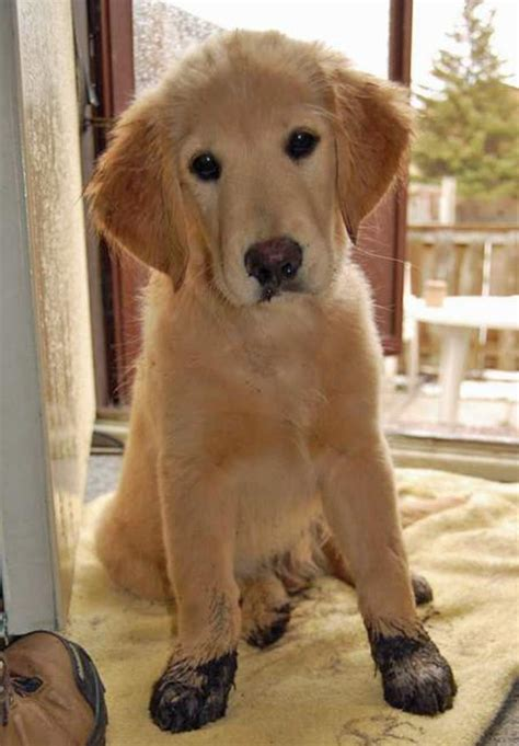 golden retriever breeders tucson the golden retriever puppies daily puppy