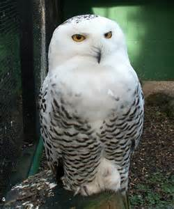 4 snowy owl facts for kids in birds biological science