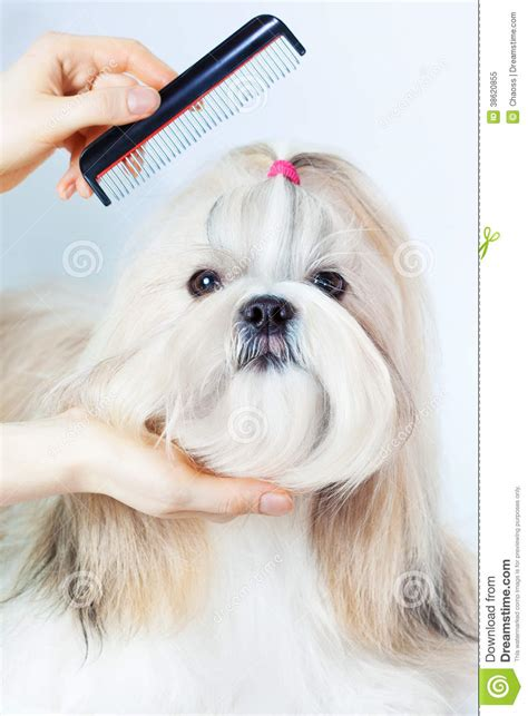 comb for shih tzu shih tzu grooming royalty free stock photo image 38620855