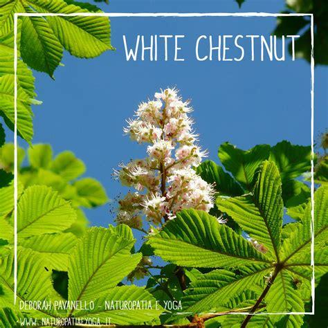 white chestnut fiori di bach fiori di bach deborah pavanello