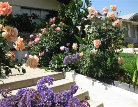 rose bush care maintenance how best to care for roses