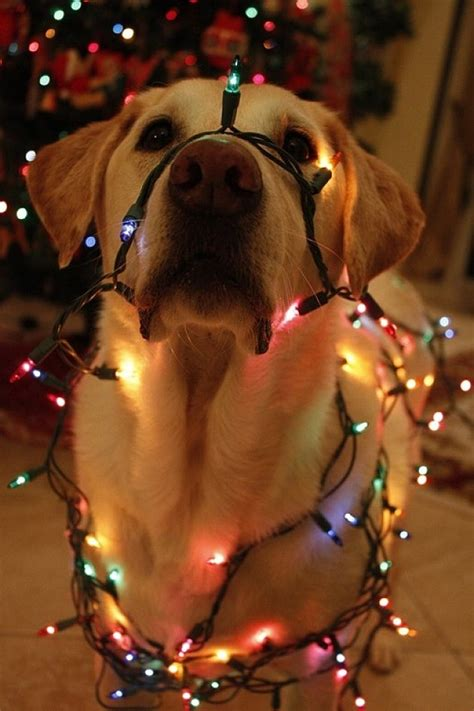 12 dogs guilty of getting into christmas decorations