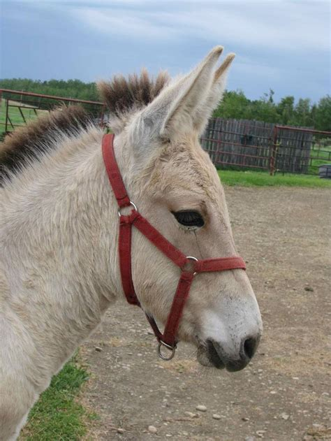 10 best images about mixed equine breeds on pinterest - Fjord Mule