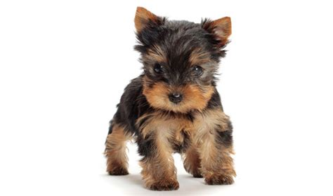 how much do you feed a yorkie puppy top 10 best looking dogs tips