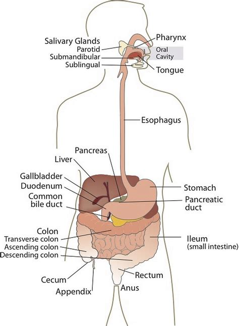 the digestive system diagram flowchart of human digestive system showme digestive