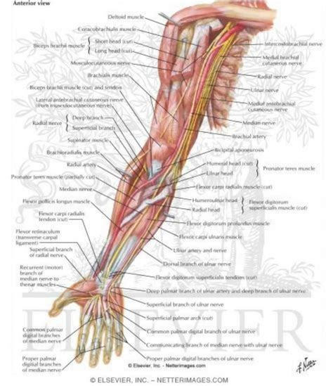 muscles diagram arm muscles anatomy human anatomy diagram