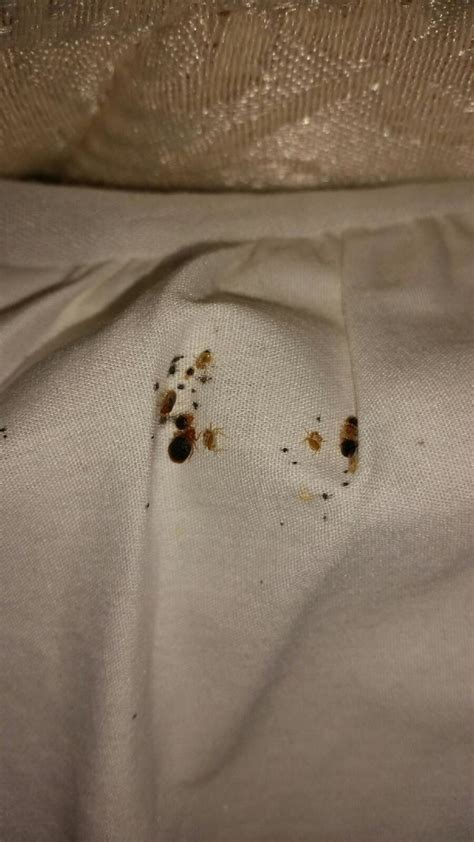 are bed bugs white how to identify a bed bug infestation with pictures