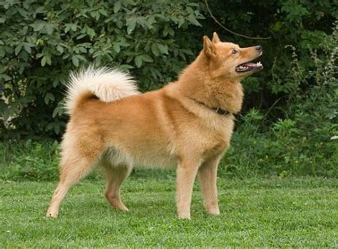 Do Spitz Shed by Non Shedding Non Barking Friendly Dogs Breeds Picture