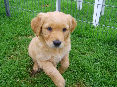 list of golden retriever breeders top 10 golden retriever puppies amo