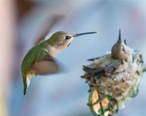 watch baby hummingbirds hatch grow on live webcam