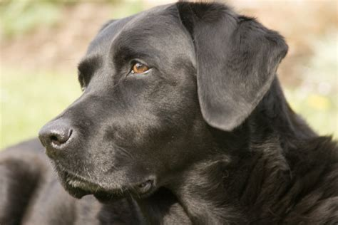 retriever puppy food top 3 foods for labs