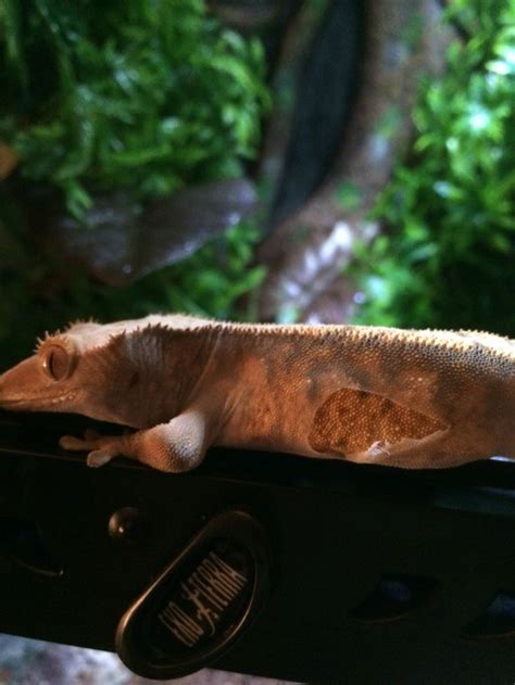 Crested Gecko Shedding by 65 Best Images About Crested Gecko On Reptile