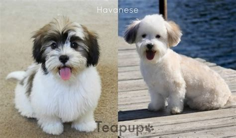 havanese grown weight available puppies