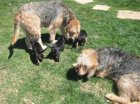 otterhound puppies for sale otterhound puppies for sale the otterhound puppies for sale are if breeds picture
