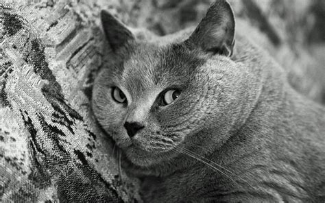 cat wallpaper grey grey cat wallpapers and images wallpapers pictures photos