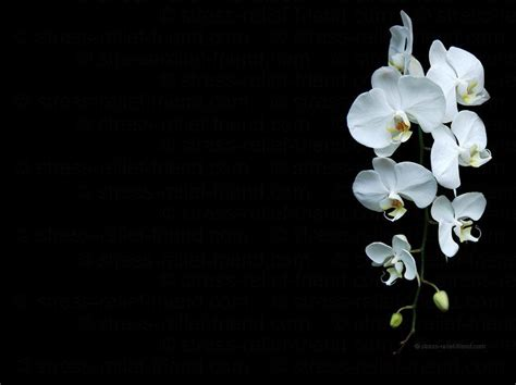 Black And White Orchid Wallpaper | white orchid wallpapers wallpaper cave