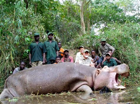 big hippo chasing boat 301 moved permanently