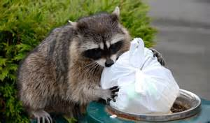 3 tips for getting rid of raccoons