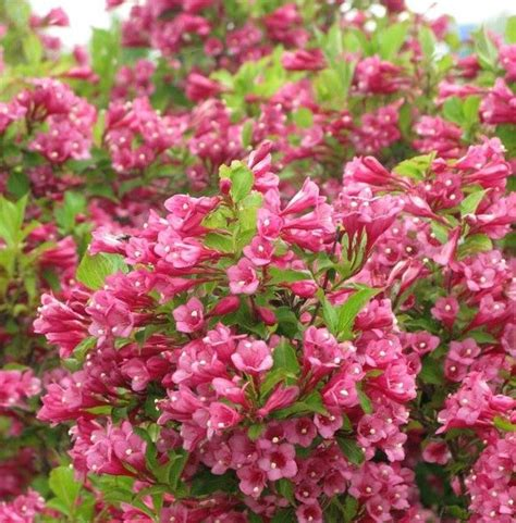 flamingo pink weigela is an attractive shrub with rich dark pink blooms and bright leaves that
