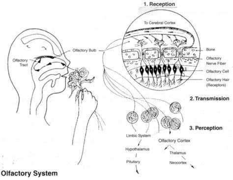 olfactory pathway diagram photos on