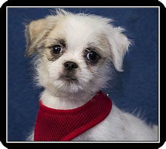 san diego pugs san diego ca pug maltese mix meet pugs bunny a puppy for adoption rescue a pet
