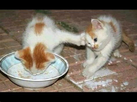 funny cats and kittens who don t want to share their food