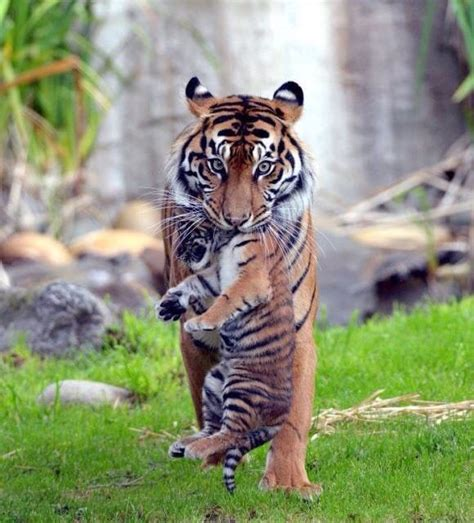 Amazing Animals Tigers 409 best amazing animals and mammals images on