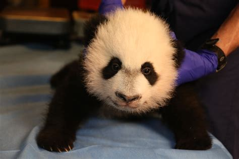 oso panda oso panda 0805087567 191 cu 225 nto cuesta un oso panda univision
