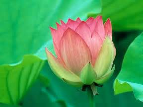 Free Lotus Flower Images Flower Picture Lotus Flower 3