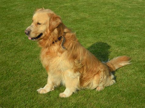 golden retriever websites golden retriever hondjeshoeve